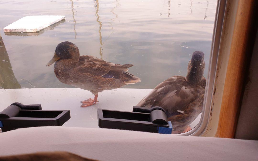 Des canards sur la plage arrière